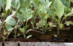 О капусте трансфер: описание раннего сорта, особенности выращивания