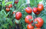 """Томат """"дубрава"""": характеристика и описание сорта, отзывы, фото, урожайность – все о помидорках"""