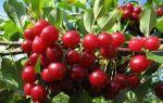 О вишне желанной: описание и характеристики сорта, посадка и уход