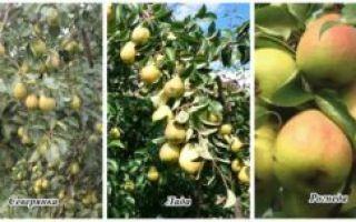 О груше северянка: описание сорта, агротехника выращивания, особенности опыления