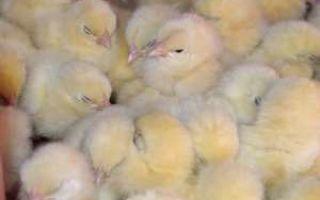 О лечении цыплят, которые чихают и хрипят: что делать с дохнущей птицей