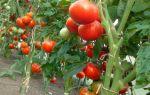 Экстракт хвоща полевого для увеличения завязей томатов, как применять – все о помидорках