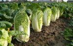 О пекинской капусте: как выглядит и растёт, особенности выращивания и ухода