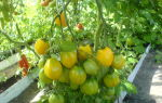 """Томат """"чудо света"""": характеристика и описание сорта, отзывы, урожайность – все о помидорках"""
