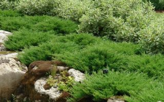 О можжевельнике принц уэльский: описание сорта, как посадить и ухаживать