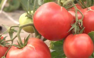 Томат первоклашка: характеристика сорта, описание, отзывы, урожайность – все о помидорках