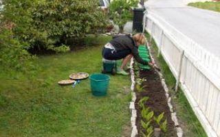 О посадке гладиолусов в открытый грунт (подготовка к посадке, когда высаживать)