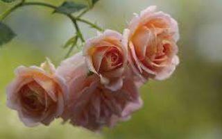 О розе гейша (geisha): описание и характеристики чайно гибридной культуры