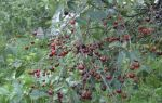 О владимирской вишне: описание сорта, опыление, посадка саженца и уход
