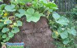 О посадке тыквы на компостную кучу: все о выращивании на дерне и навозе