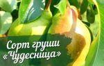 О груше чудесница: описание сорта, агротехника выращивания, особенности ухода