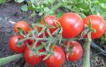 Томат восторг садовода: характеристика, описание сорта, отзывы, фото, урожайность – все о помидорках
