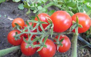 Томат перцовка: особенности сорта, описание, урожайность, отзывы – все о помидорках