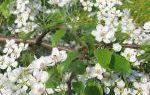 О груше фаворитка: описание и характеристика сорта, особенности и преимущества