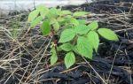 О садовой малине вера: описание и характеристики сорта, особенности по уходу