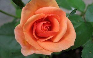 О розе blush: описание и характеристики сорта, уход и выращивание культуры
