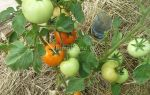 Томат «звезда сибири»: характеристика, описание и особенности – все о помидорках