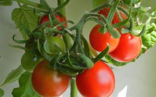 """Помидоры """"балконное чудо"""": как выращивать, характеристика и описание сорта – все о помидорках"""