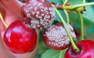 О черешне василиса: описание и характеристики сорта, посадка, уход, выращивание