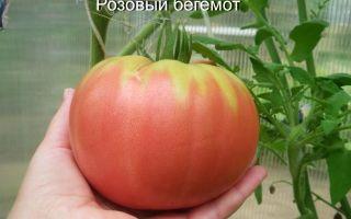 Томат розовый бегемот: характеристика и описание сорта, отзывы, фото, кто сажал – все о помидорках
