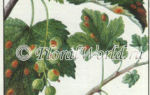 О болезнях мальвы (ржавчина и желтизна на листьях), борьба с вредителями