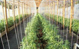 Как правильно подвязать помидоры в теплице из поликарбоната – все о помидорках