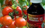 Нашатырь для помидоров: как действует и для чего его используют – все о помидорках