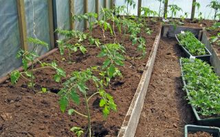 Когда высаживать рассаду помидор в теплицу в подмосковье – все о помидорках
