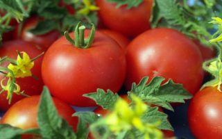 Свежие помидоры – все о помидорках
