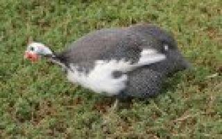 О бройлерной цесарке: описание, особенности разведения и содержания