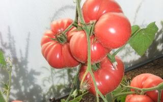 Томат мексиканец (mexico): характеристика и описание сорта, отзывы тех, кто сажал – все о помидорках