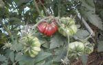Томат ребристый черный тима: особенности сорта, описание, урожайность, отзывы – все о помидорках