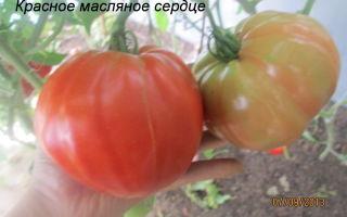 Томат красное масляное сердце: описание сорта, характеристика, отзывы об урожайности, фото – все о помидорках
