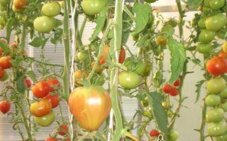 Томат краснобай: характеристика и описание сорта, урожайность, отзывы – все о помидорках