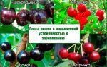 О монилиозе вишни – как лечить: обработка, препараты, антибиотики