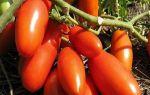 Томат гаспачо: характеристика, описание сорта, отзывы, фото, урожайность – все о помидорках
