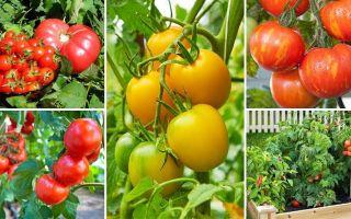 Помидоры для ленивых огородников, выращивание, сорта, отзывы – все о помидорках