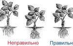 О землянике фестивальная: описание и характеристики сорта, посадка, уход