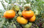 Томат «золотой век»: характеристика и описание сорта, отзывы тех, кто сажал – все о помидорках