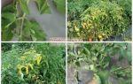 Почему скручиваются листья у томатов в теплице, что делать – все о помидорках
