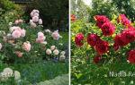 О розах в саду в ландшафтном дизайне: с какими цветами сочетаются, как сажать