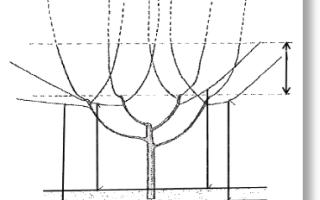 О черешне мелитопольской: описание и характеристики сорта, посадка, уход