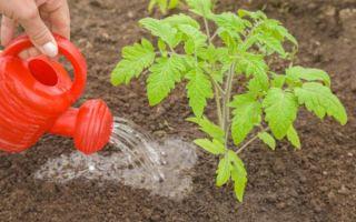 Древесная зола: как удобрение для помидор для увеличения завязей – все о помидорках