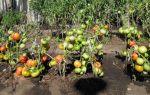 Выращивание помидоров в открытом грунте – все о помидорках