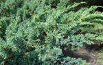 О можжевельнике мейери: разновидности, описание, характеристики сорта
