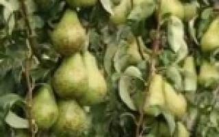 О лучших сортах груши для ленинградской области: описание, особенности