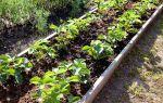 О посадке баклажан: хорошее соседство, совместимость с другими культурами