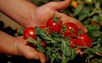 Что делать с помидорами, если каждый день идет дождь – все о помидорках