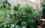 Помидоры жируют в теплице, что делать, отзывы – все о помидорках