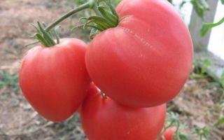 Томат бычье сердце розовый: описание сорта, характеристика, выращивание, отзывы, фото – все о помидорках